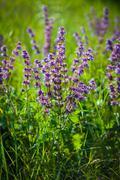 Wild violet flower on green meadow Kuvituskuvat