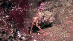 Cancer hermit in the sink in search of food on the seabed. - stock footage