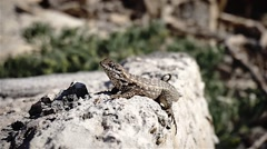 Exotic lizard on a rock close up Stock Footage