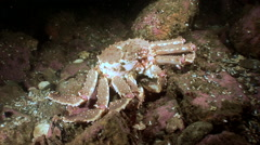 King Crab looking for food on the sea floor moves the camera. Stock Footage