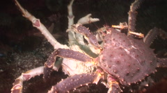 Battle of two king crabs in Barents Sea. - stock footage