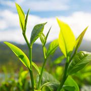 Camellia sinensis tea - stock photo