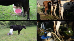 Manual and automatic cow milking in farm. Video clips collage Stock Footage