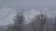 Bald Eagles and Raven Wintry Treetops Mountains Perspective Alaska Stock Footage