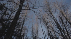 Bare Birch Trees Blowing in Wind Clear Sky Winter Low Angle Stock Footage