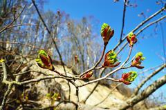 Spring. Poplar buds closeup Stock Photos