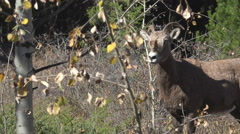 Bighorn Ewe Standing and Passing Fall Birch Trees Stock Footage