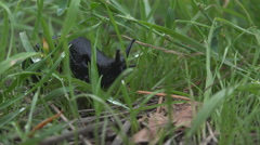 Black Slug in Green Grass low angle 4K Stock Footage