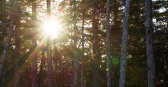 Brilliant Sun Star Flares through Tree Trunks in Forest Windstorm 4K Stock Footage