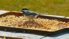 Stock Video Footage of Chickadee Birds Eating Bird Seed on a Spring Day.
