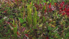 Delicate Colorful Tundra Plants and Berries Slide Right close 4K Stock Footage
