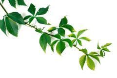 Branch of green grapes leaves - stock photo