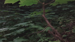 Devils Club Undergrowth Southeast Alaska Rainforest dolly in 4K Stock Footage