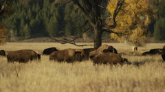 Wide panning shot of bison grazing in field / Grand Teton National Park, Stock Footage