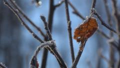Frost Rimed Dead Leaf in Winter on Alder Twig Parallax Slide Right 4 - stock footage