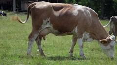 Herd of Holstein cows grazing, farm, animals, udder, healthy, pasture Stock Footage