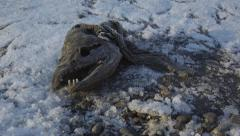 Grisly Dead Salmon Head Decayed and Frosty with Bird Tracks dolly 4K - stock footage