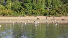 Birds like Canada geese and seagulls walking flying in park beach Stock Footage