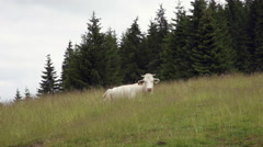 Beautiful white cow resting on mountain meadow, pasture, pine trees forest Stock Footage
