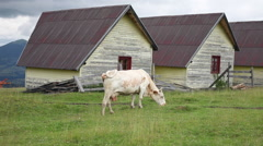 White cow grazing, bovine eating grass, meadow, field, ranch, mountain Stock Footage