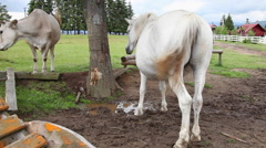 Ranch farm animals with white horse and cows on meadow mountain Stock Footage