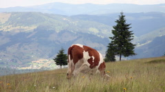 Beautiful Holstein breed cow, grazing, meadow, nature, mountain, landscape Stock Footage