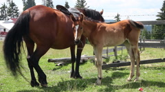 Cute loving baby horse sweet foal with mother on mountain farm meadow Arkistovideo
