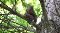 Scared squirrel holding onto a tree branch,cute,funny small animal jumping Stock Footage