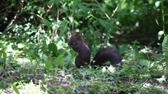 Funny brown squirrel eating dandelion leaves, diet, vegetation, forest, animal Stock Footage