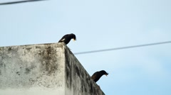 White-vented Myna birds are resting Stock Footage