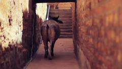 Stray cow roaming through an alley, India Stock Footage