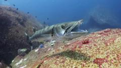 Barracuda toothy grin - stock footage