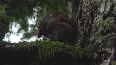 Red Squirrel Frantically Eating Spruce Cone on Branch, Darts Away 4K Stock Footage