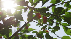 Ripe Cherries in Tree with Leaves and Lens Flare from Sun Stock Footage
