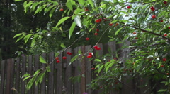 Ripe Cherries on Tree and Fence Slow Motion Stock Footage