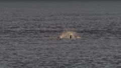 Sea Lion Splashing in Frenzy Leap Slow Motion Stock Footage