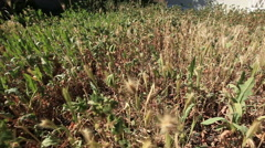 Pan left in tall grass and weeds Stock Footage