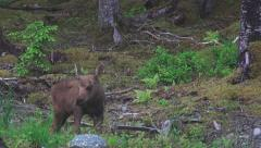 Very Young and Cute Baby Moose at Forest's Edge Alaska 4K Stock Footage