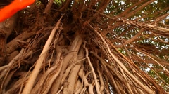 Roots of tree Stock Footage