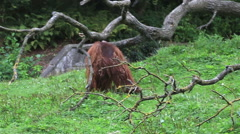 Male Bornean orangutan Stock Footage