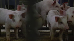 Farming - Pigs in pens at a humane and responsible farm Stock Footage