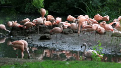 Chilean flamingo. Oldest zoos in Europe. Republic of Ireland Stock Footage