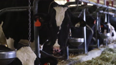 Faces of Dairy Cows in a Milk Farm Arkistovideo