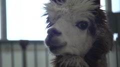 Alpaca in a Farm Pen - Animal in a Barn Stock Footage