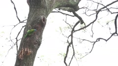 Taiwan Barbet, Megalaima nuchalis, Muller's Barbet make a nest in a tree -Dan Stock Footage