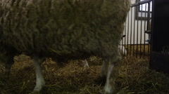 Steadicam Shot of Baby Sheep with their Mothers Stock Footage
