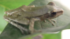 Indonesian Tree Frog Stock Footage