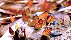 Dolly: Group of butterflies eating salty soil, HD 1080 Stock Footage