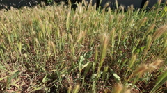 Tall grass pan right pull back ronin shot Stock Footage
