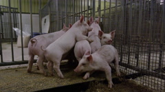 Steadicam Shot of Farm Animals - Pigs in a Pen Stock Footage